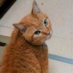 猫はニャーと鳴かない説